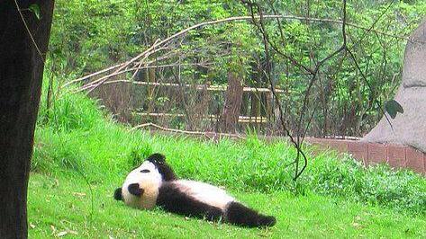 panda lounging outside