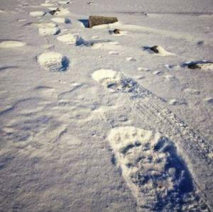 Polar bear paw prints